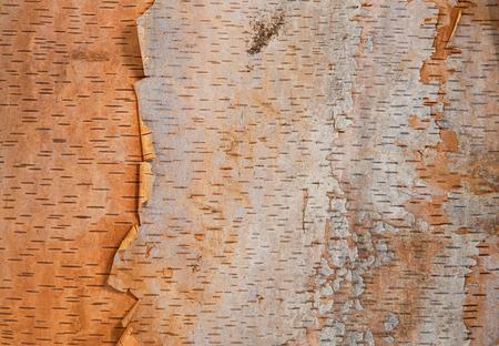 川の白樺の木の樹皮テクスチャ背景 写真素材