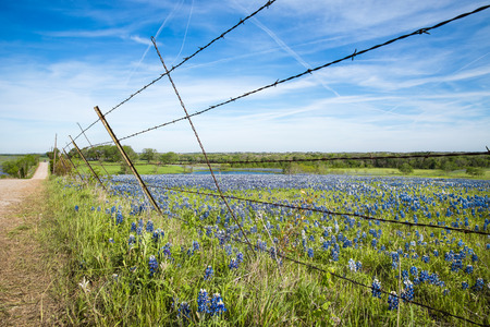 Bluebonnet field and fence along a country road in Texas spring photo