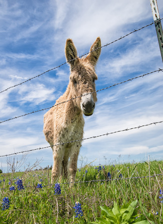 Donkey standing behind barbwire fence on spring pasture photo