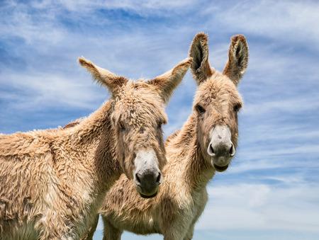 ears donkey: Portrait of two donkeys posing against blue sky, closeup