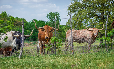 longhorn cattle: Texas longhorn cattle grazing on pasture