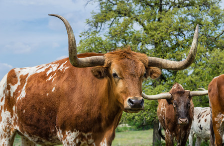 longhorn cattle: Texas longhorn cattle on pasture, closeup