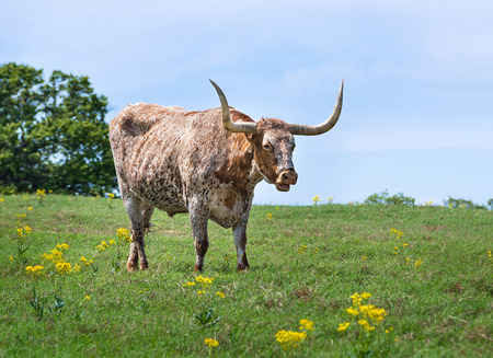 longhorn cattle: Texas longhorn cattle grazing on pasture Stock Photo