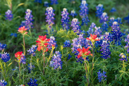 bluebonnet: Indian Paintbrush and Texas bluebonnet wildflowers blooming on meadow in early morning light, closeup Stock Photo
