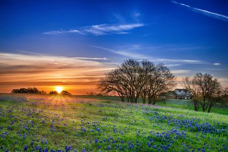 Texas bluebonnet voorjaar wilde gebied bij zonsopgang