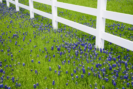 bluebonnet: Bluebonnets blooming along a white fence in spring Stock Photo