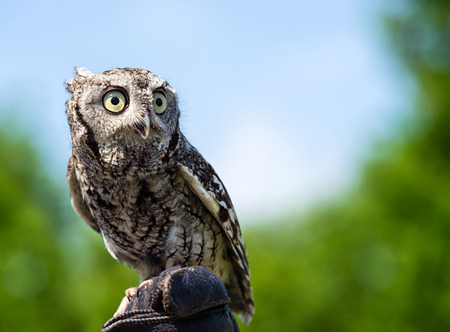 megascops: Portrait of Eastern Screech Owl (Megascops asio), against natural green and blue