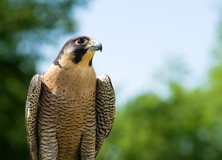 falco peregrinus: Portrait of Peregrine Falcon (Falco peregrinus), aka Duck Hawk, the fastest animal on earth. Natural green and blue .