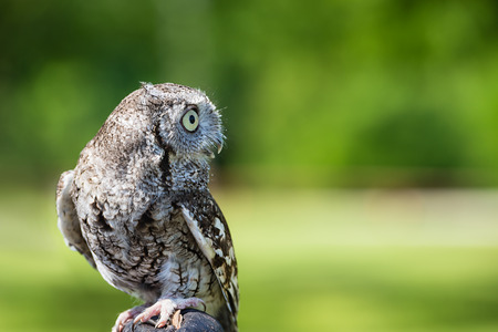 megascops: Portrait of Eastern Screech Owl (Megascops asio), against natural green with copy space