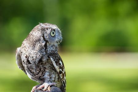 megascops: Ritratto di Eastern Screech Owl (Megascops ASIO), contro il verde naturale con copia spazio