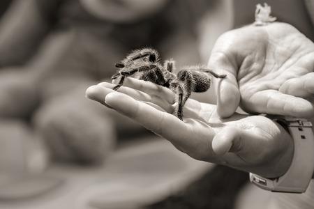 arachnophobia: Child holding a tarantula spider on her hand. Sepia tone, shallow depth of field.