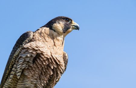 falco peregrinus: Portrait of Peregrine Falcon (Falco peregrinus), aka Duck Hawk, the fastest animal on earth. Blue sky with copy space.