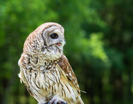 Barred Owl (Strix varia), aka Rain Owl, Wood Owl, or Striped Owl, natural green  photo