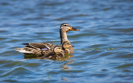 Female Mallard duck (Anas platyrhynchos) and two ducklings swimming in lake photo
