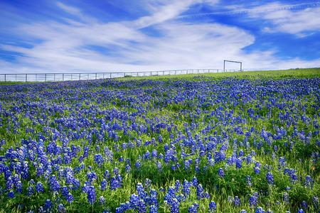 봄에 피는 텍사스 블루 보넷 필드, 흰 구름과 밝은 푸른 하늘 스톡 콘텐츠 - 28420322