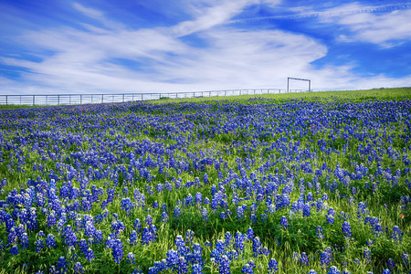 bluebonnet: Texas Bluebonnet field blooming in the spring, bright blue sky with white clouds Stock Photo