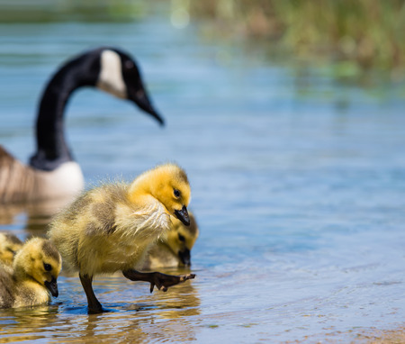 stepping: Adorable Canada goose gosling stepping out of lake water