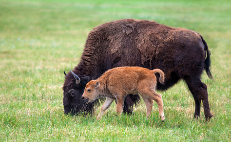 Buffalo bison cow and a calf on green pasture photo