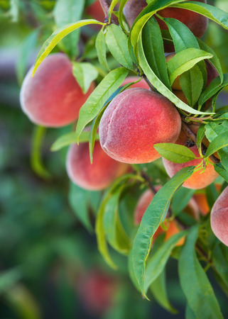 Sweet peaches growing on peach tree in garden, closeup photo