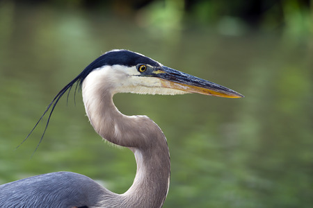 great blue heron: Closeup portrait of Great Blue Heron  Ardea herodias   Natural green background with copy space