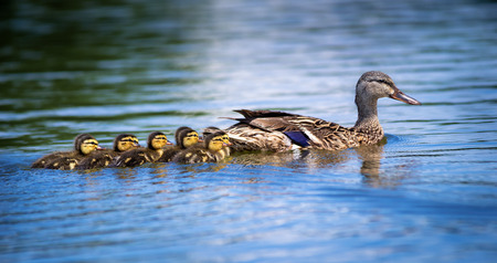 yellow duck: Female Mallard duck  Anas platyrhynchos  and adorable ducklings swimming in lake Stock Photo