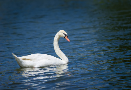 cygnus olor: Mute swan  Cygnus olor  swimming in blue lake water Stock Photo