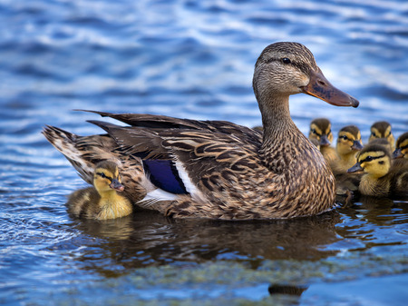 Cute newborn Mallard (Anas platyrhynchos) duckling swimming in lake with mother duck and siblings