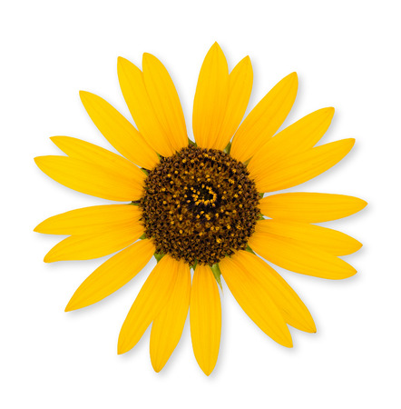 helianthus annuus: Bright yellow wild sunflower (Helianthus Annuus) on white background Stock Photo