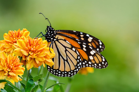 Monarch butterfly (Danaus plexippus) on orange garden flowers during autumn migration. Natural green background.