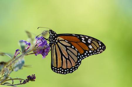 plexippus: Monarch butterfly (Danaus plexippus) feeding on butterfly bush, natural green background