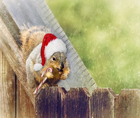 Christmas squirrel wearing Christmas hat and holding a candy cane and a nut on wooden fence in the winter. Vintage filter effects. photo