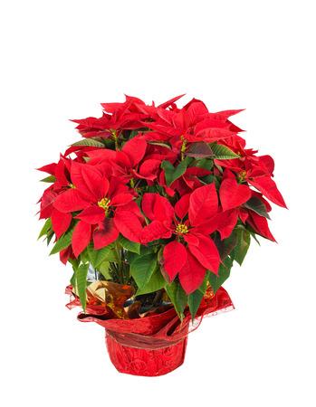 flor de pascua: Red poinsettia (Euphorbia pulcherrima) en una olla festivo flor, aislada sobre fondo blanco