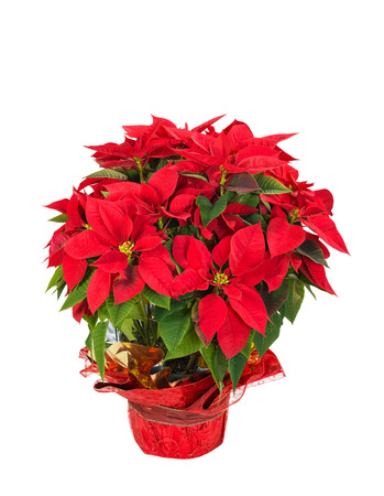 poinsettia: Red poinsettia (Euphorbia pulcherrima) in a festive flower pot, isolated over white background