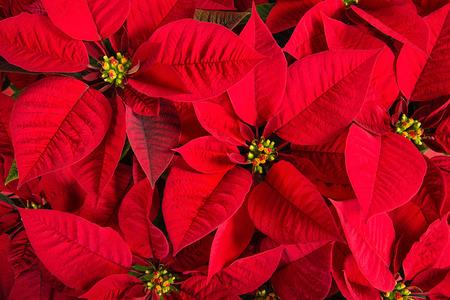 Closeup of red poinsettias (Euphorbia pulcherrima) flower background 스톡 콘텐츠