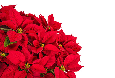 pulcherrima: Red poinsettia flower (Euphorbia pulcherrima), isolated on white with copy space Stock Photo