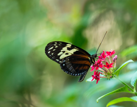 longwing: Tiger Longwing butterfly (Heliconius hecale) feeding on red star flowers. Natural green background. Stock Photo