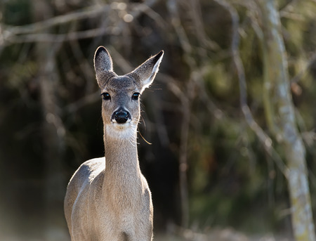 virginianus: Closeup of a young White-Tailed Deer (Odocoileus virginianus) in the woods