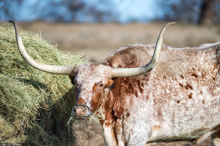 longhorn cattle: Texas Longhorn feeding in the pasture, closeup