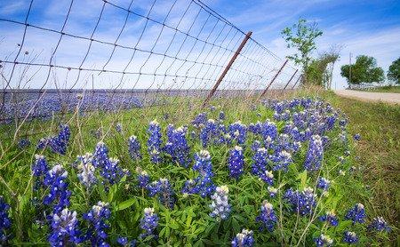 bluebonnet: Bluebonnets along country road and fence in Texas spring Stock Photo