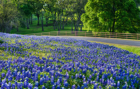 Texas bluebonnet field along country road in early morning light Stok Fotoğraf - 37406952