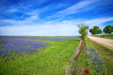 Bluebonnet field and a fence along a country road in Texas spring photo