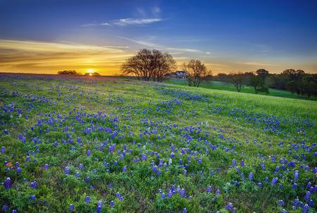 テキサス ブルー ボンネット春ワイルドフラワー フィールド日の出 写真素材