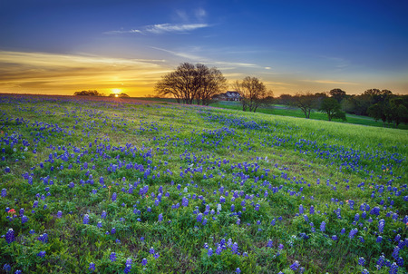 countryside landscape: Texas bluebonnet spring wildflower field at sunrise