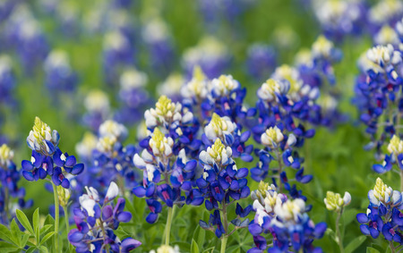bluebonnet: Texas bluebonnets (Lupinus texensis) blooming on the meadow