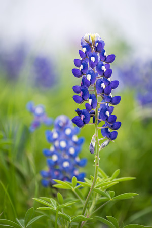 bluebonnet: Closeup of Texas Bluebonnet flower (Lupinus texensis)