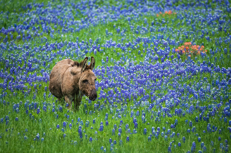 ears donkey: Donkey grazing on bluebonnet pasture in Texas spring