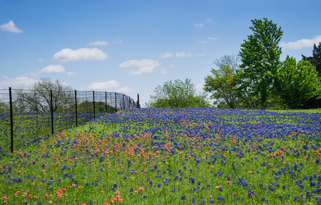 bluebonnet: Field of Bluebonnet and Indian Paintbrush flowers in bloom along a fence in Texas spring