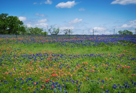 bluebonnet: Field of Bluebonnet and Indian Paintbrush flowers blooming in Texas spring