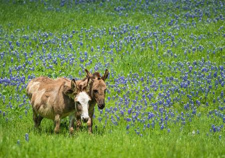 burro: Dos burros pastando en la dehesa bluebonnet en Texas primavera