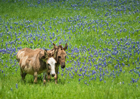 bluebonnet: Two donkeys grazing on bluebonnet pasture in Texas spring Stock Photo